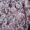 皇居 乾通りの桜の花見