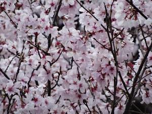 皇居の桜2