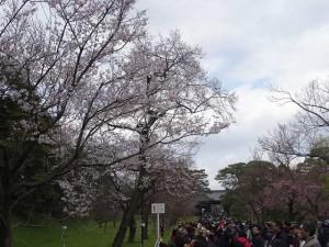 皇居の桜1