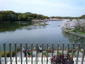 明石公園の池と桜